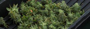 Anden-Harvest-Humidity-Sensor-Plant-Marijuana