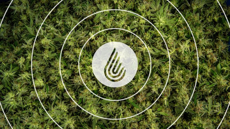 The Ripple Effect: How Legalization Impacts Growers